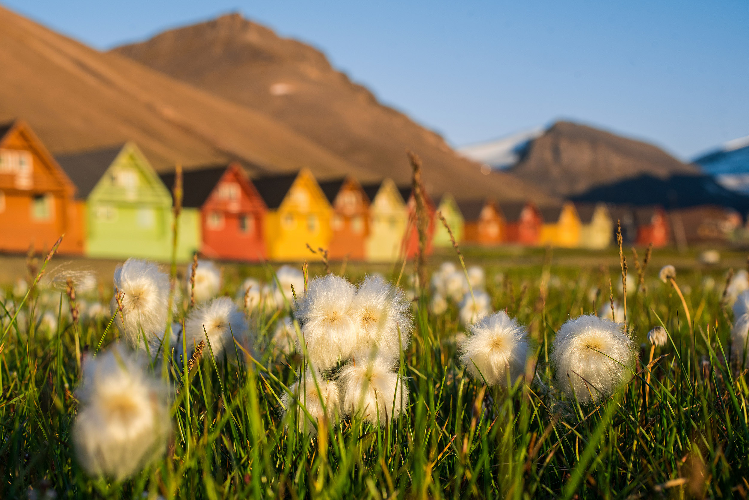 longyearbyen in summer, cottongrass and colorful houses